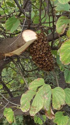 במקום לרסס נחילי דבורים הזמינו דבוראי לפנותם