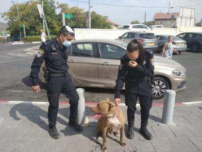שוטרי סיור עצרו כלב משוטט מסוג פיטבול